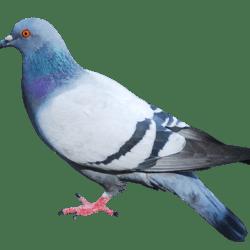 К чему снится клюет голубь